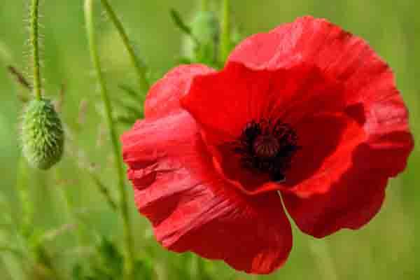 Groene achtergrond met stengels van klaproos en rode klaproos in volle bloei met purper hart